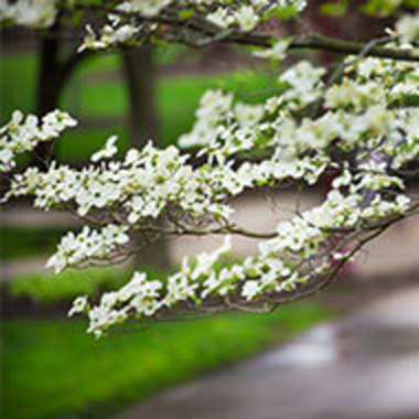 spring photo of the Oak Grove focused on a flowering dogwood branch
