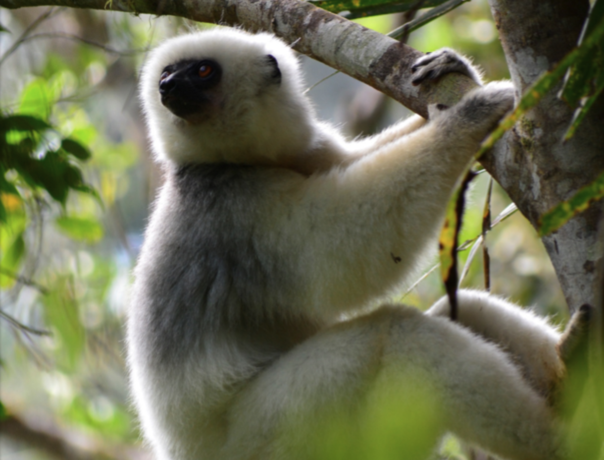 A silky sifaka clings to a tree in Madagascar