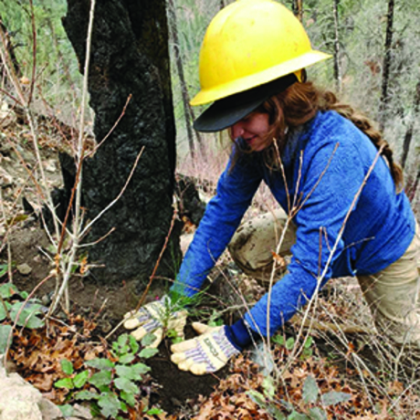 Trees being planted in 416 Fire burn scar