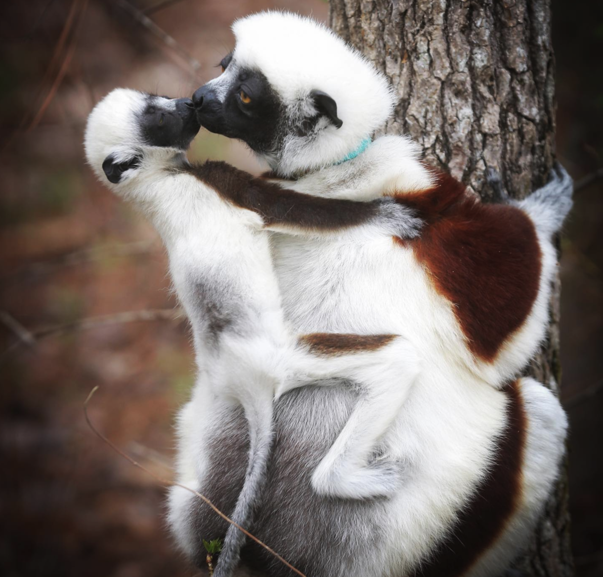 An infant sifaka rubs his mother's nose while clinging to her back