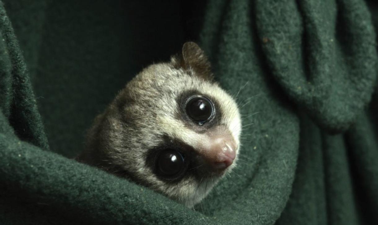 A fat-tailed dwarf lemur peeps out from its green fleece nest