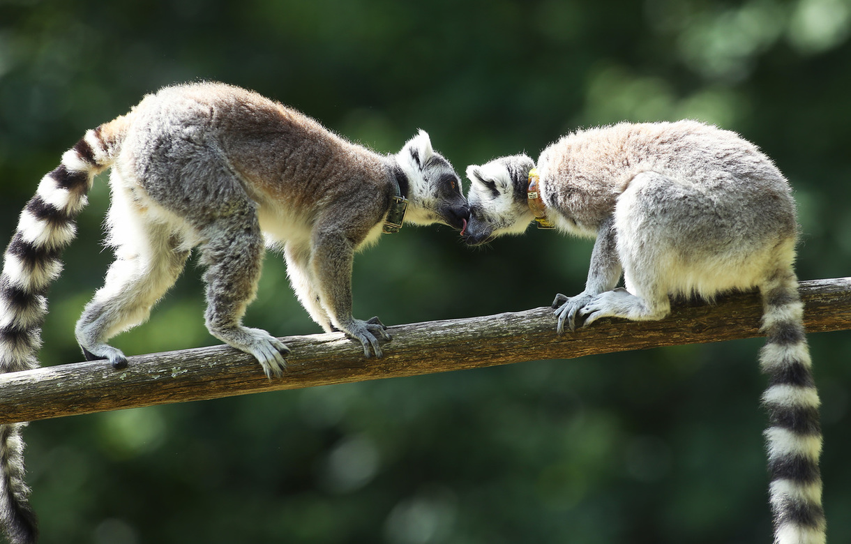 Ring-tailed lemurs Tellus and Licinius groom one another in their forested enclosure