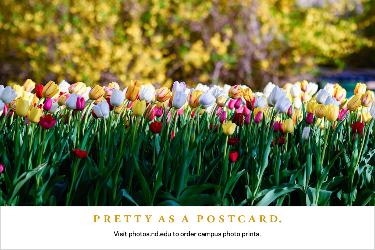 Photo of tulips with