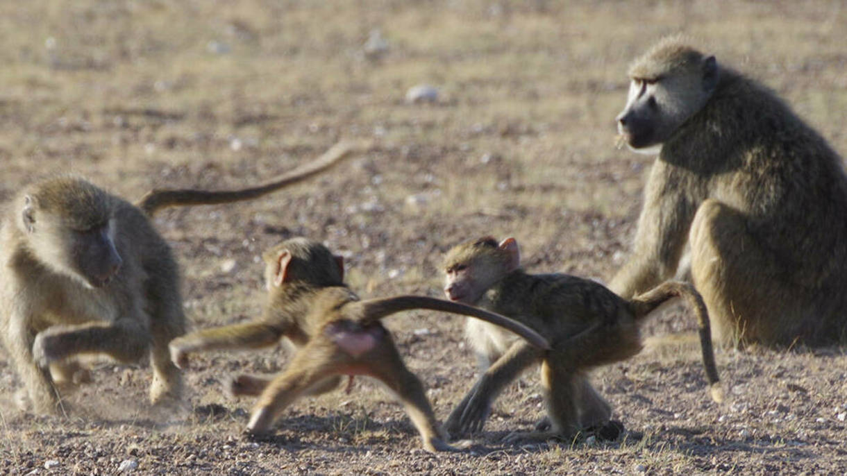 Photo of Babboons
