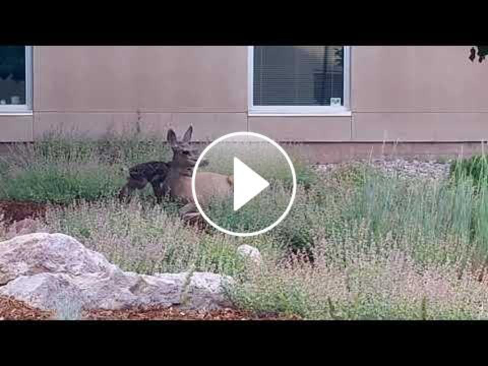Mule deer fawns born at FLC