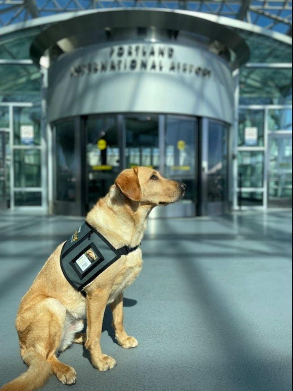 A yellow labrador dog wearing a vest sitting in front of the PDX revolving doorway.