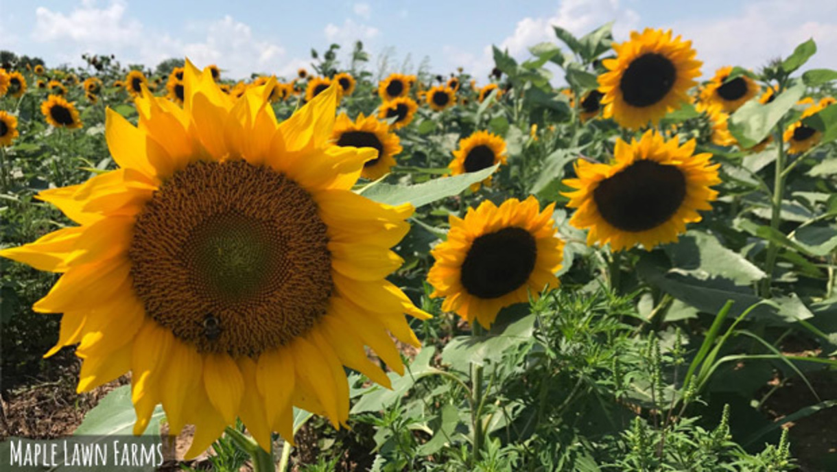 A field of sunflower blooms at Maple Lawn Farms