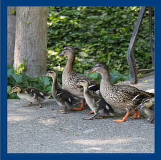 Photo of ducks walking
