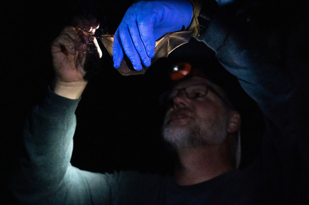 Photo of Russ Benedict, Central College professor of biology, examining bat wings