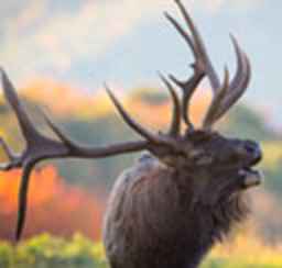 A majestic bull elk calling to a mate during the autum rut with a colorful autum tree line behind him